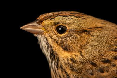 Photo: Lincoln's sparrow (Melospiza lincolnii) at the Wildlife Rehabilitation Center of Minnesota.