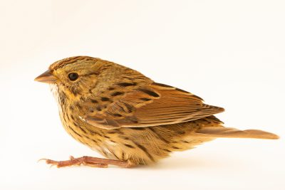 Photo: Lincoln's sparrow (Melospiza lincolnii) at the Wildlife Rehabilitation Center of Minnesota.