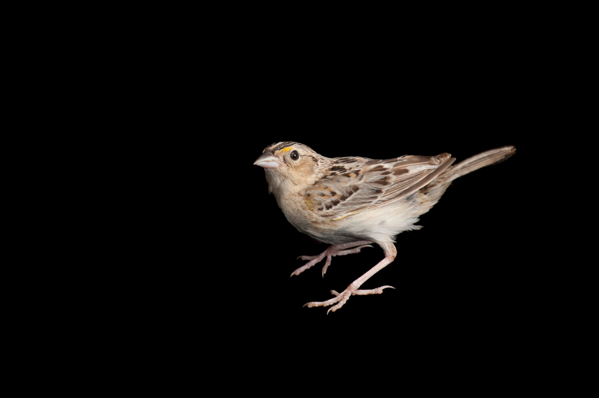 Photo: A grasshopper sparrow (Ammodramus savannarum) wild caught by biologists using a mist net, near Wood River, Nebraska.