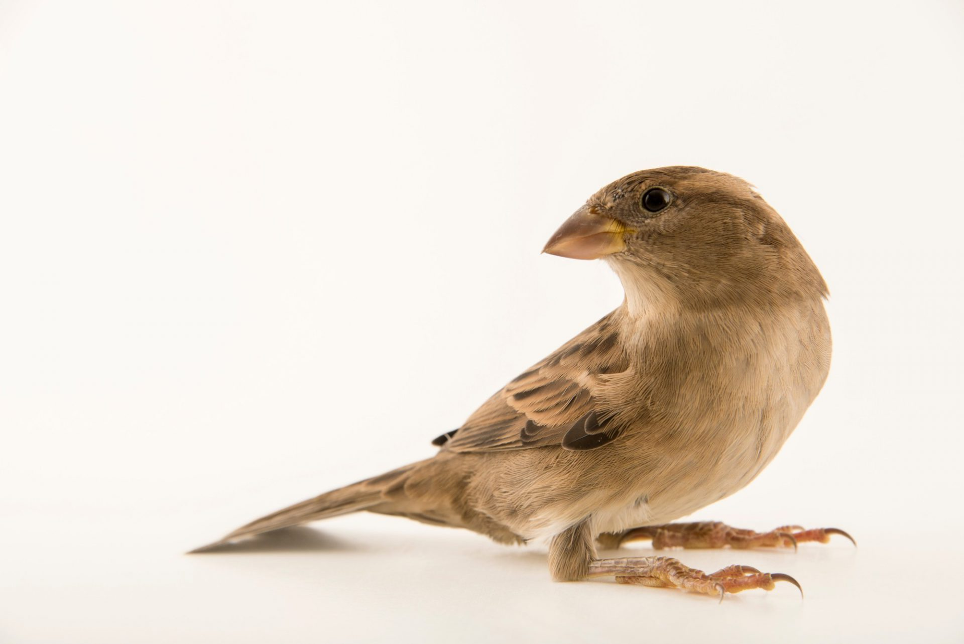 Photo: A female house sparrow (Passer domesticus balearoibericus) at the Wildlife Rescue Center of Rome (LIPU).