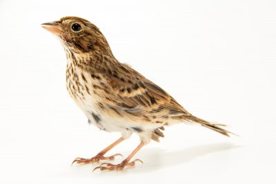 Photo: A vesper sparrow (Pooecetes gramineus) at Iowa Bird Rehabilitation.