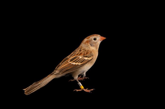 Photo: A field sparrow (Spizella pusilla pusilla) at the Akron Zoo.