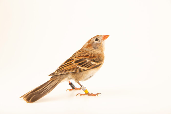 Photo: A field sparrow (Spizella pusilla pusilla) at the Akron Zoo.