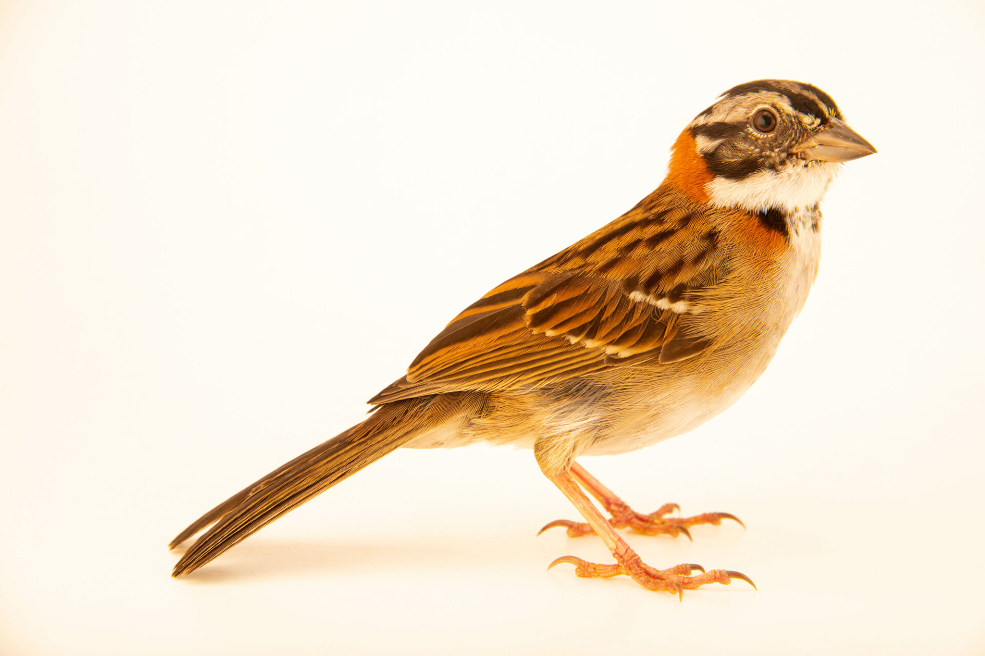 Photo: A rufous-collared sparrow (Zonotrichia capensis subtorquata) at the Membeca Lagos Farm, near Rio de Janeiro, Brazil.
