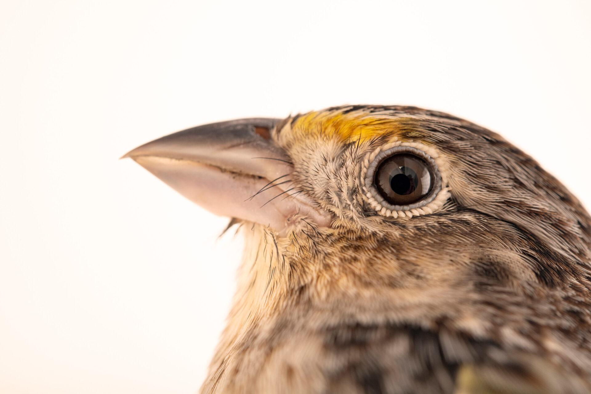 Photo: A Florida grasshopper sparrow (Ammodramus savannarum floridanus) at White Oak Conservation Center, Yulee, Florida.