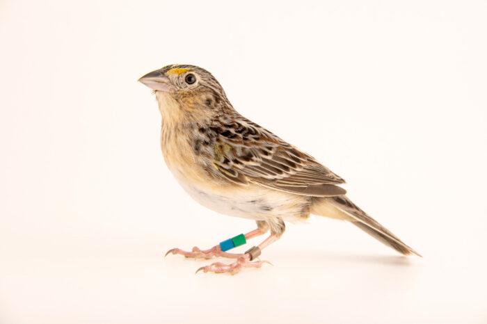 Photo: A male Florida grasshopper sparrow (Ammodramus savannarum floridanus) at White Oak Conservation Center, Yulee, Florida.