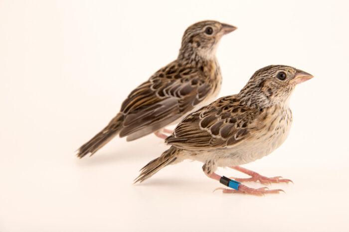 Photo: 20-day-old fledgling Florida grasshopper sparrows (Ammodramus savannarum floridanus) at White Oak Conservation Center, Yulee, Florida.