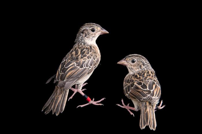 Photo: Two 20-day-old fledgling Florida grasshopper sparrows (Ammodramus savannarum floridanus) at White Oak Conservation Center, Yulee, Florida.