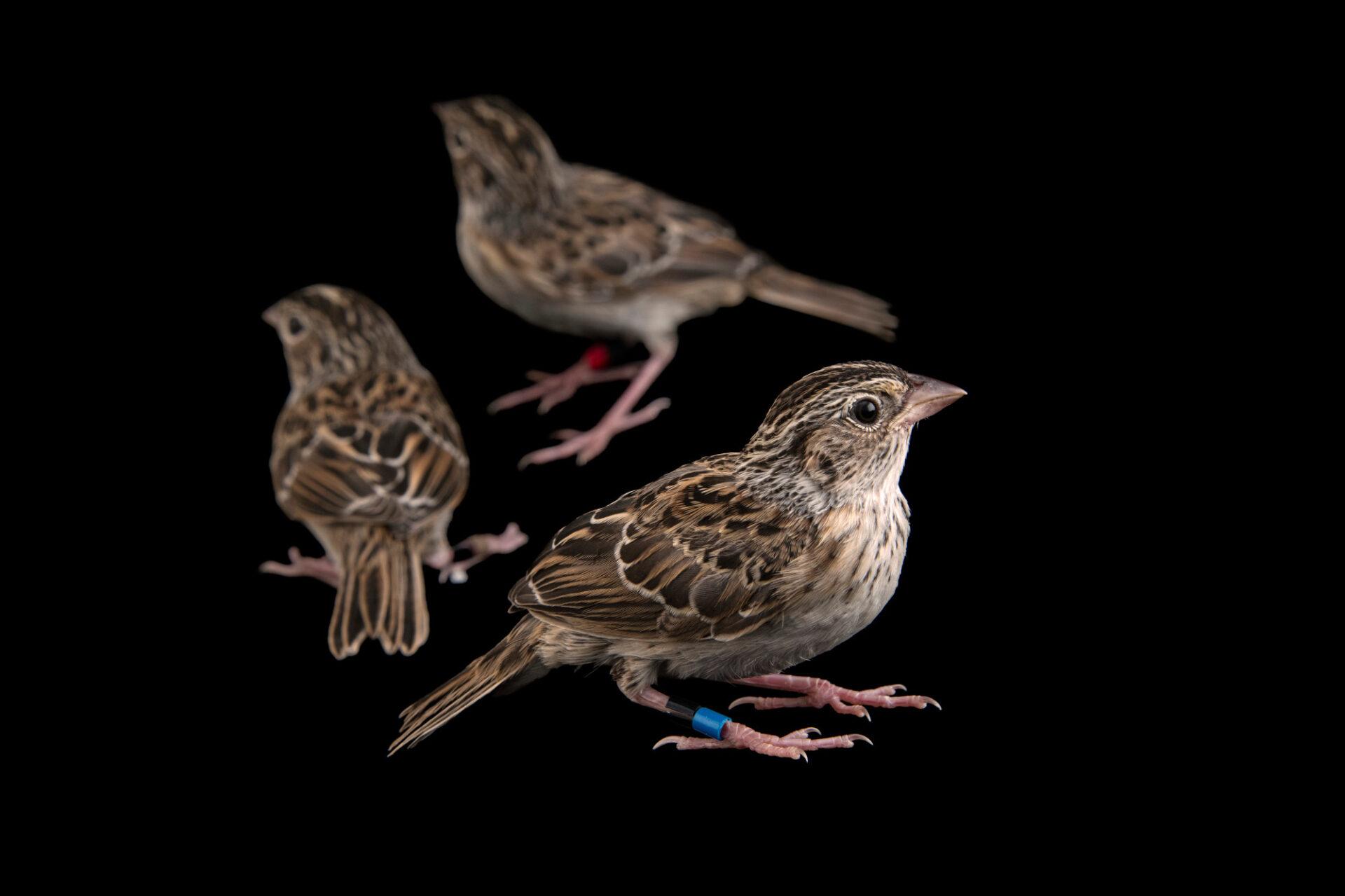 Photo: Three 20-day-old fledgling Florida grasshopper sparrows (Ammodramus savannarum floridanus) at White Oak Conservation Center, Yulee, Florida.
