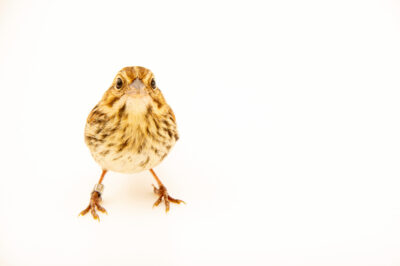 Photo: A juvenile song sparrow (Melospiza melodia euphonia) at Rum River Central Park.