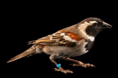 A male cape sparrow (Passer melanurus) at Safari Park Dvur Kralove.