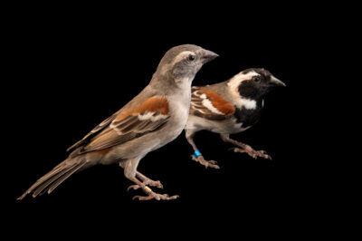 Two cape sparrows (Passer melanurus) at Safari Park Dvur Kralove. The male has black chest and face.