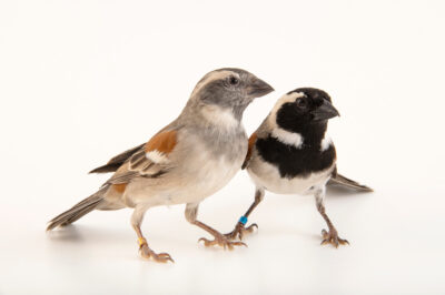 Photo: Two cape sparrows (Passer melanurus) at Dvůr Králové Zoo. The male has black chest and face.