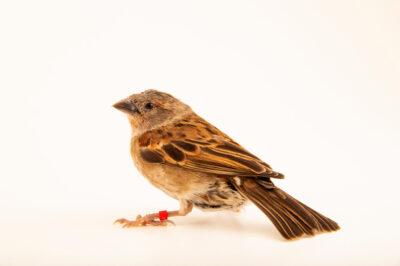A female chestnut sparrow (Sorella eminibey) at Safari Park Dvur Kralove.