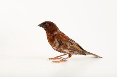 A male chestnut sparrow (Sorella eminibey) at Safari Park Dvur Kralove.