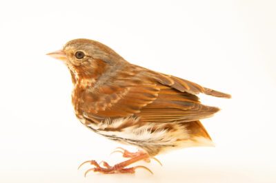 Photo: An eastern fox sparrow (Passerella iliaca iliaca) at the Wildlife Rehab Center of Minnesota.