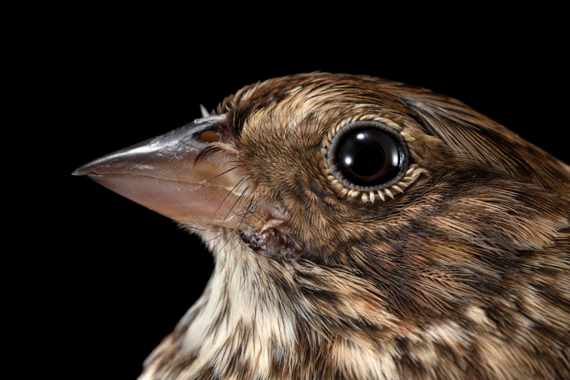 Photo: A vesper sparrow (Pooecetes gramineus) at the Iowa Bird Rehabilitation.