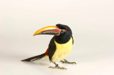 Picture of a green aracari (Pteroglossus viridis) at the Lowry Park Zoo.