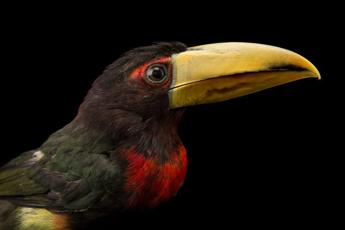 Picture of an ivory-billed aracari (Pteroglossus azara flavirostris) at the Dallas World Aquarium.