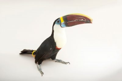 Picture of Harley, a vulnerable red-billed toucan (Ramphastos tucanus) at Alabama Gulf Coast Zoo.