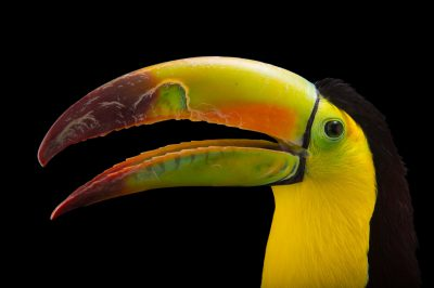 Picture of a Keel-billed toucan (Ramphastos sulfuratus) at Tracy Aviary.