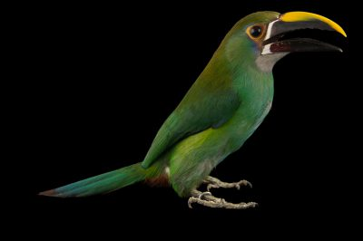 Picture of a greyish-throated toucanet (Aulacorhynchus albivitta griseigularis) at the National Aviary breeding center in Palmar, Colombia.