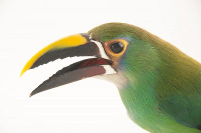 Picture of an greyish-throated toucanet (Aulacorhynchus prasinus) at the National Aviary breeding center in Palmar, Colombia
