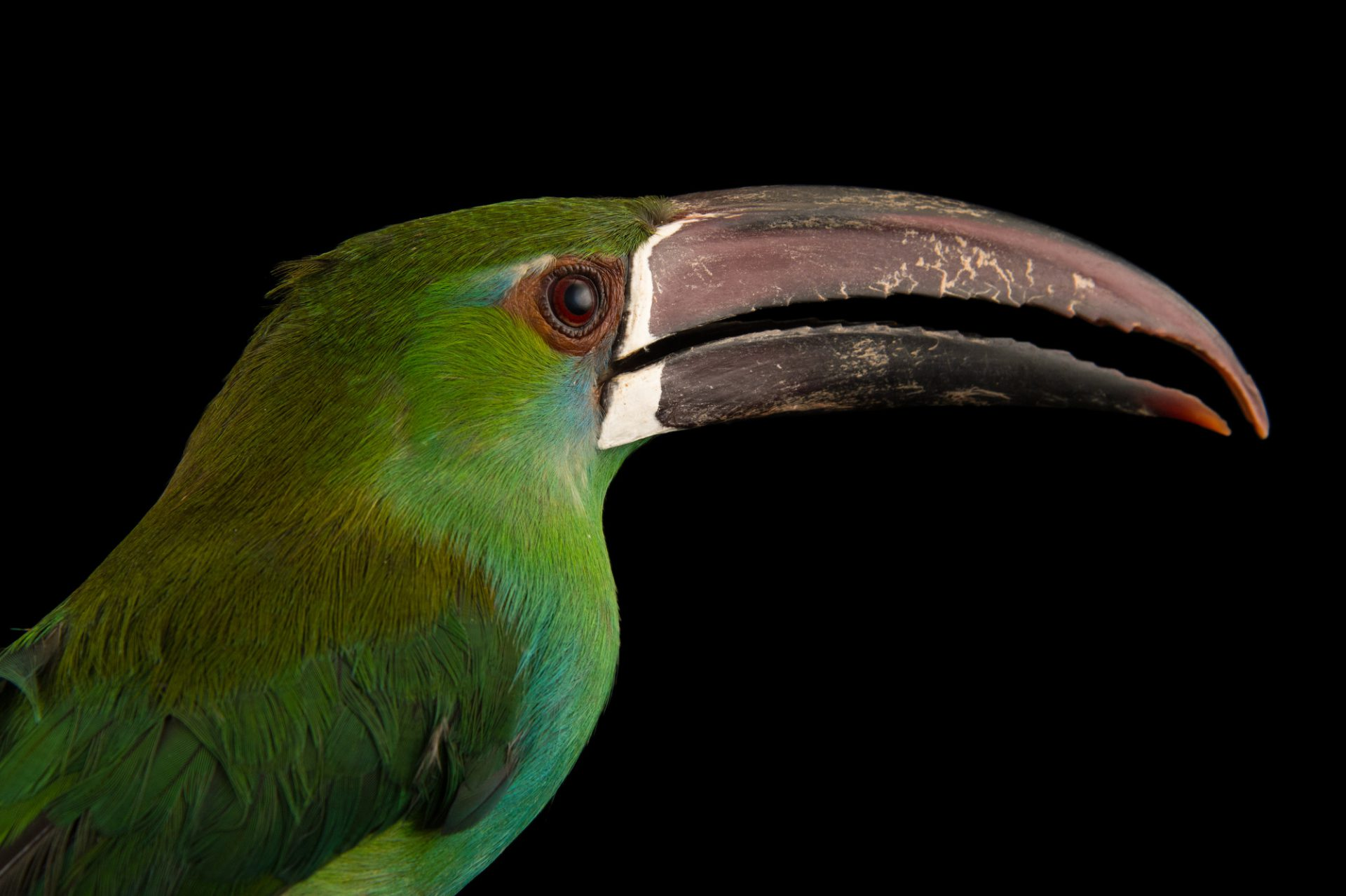 Picture of a crimson-rumped toucanet (Aulacorhynchus haematopygus) at the National Aviary breeding center in Palmar, Colombia.