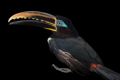 Picture of a chestnut-eared aracari (Pteroglossus castanotis) at the National Aviary breeding center in Palmar, Colombia.