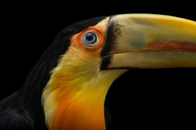 Picture of a red-breasted toucan (Ramphastos dicolorus) named 'Robert' at the Dallas World Aquarium.