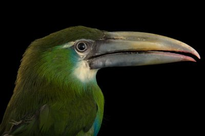 Picture of a blue-banded toucanet (Aulacorhynchus coeruleicinctis) at the Dallas World Aquarium.