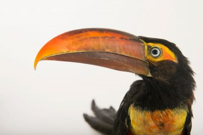 Picture of a fiery-billed aracari (Pteroglossus frantzii) at the Dallas World Aquarium.