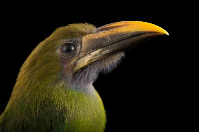Picture of a blue-throated toucanet (Aulacorhynchus caeruleogularis) at the Dallas World Aquarium.