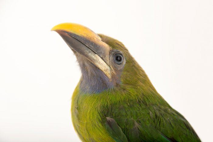 Picture of a blue-throated toucanet (Aulacorhynchus caeruleogularis) at the Dallas World Aquarium.