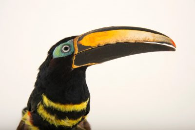 Picture of a many-banded aracari (Pteroglossus pluricinctus) at the Dallas World Aquarium.