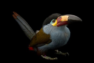 Picture of a plate-billed mountain toucan (Andigena laminirostris) at the Dallas World Aquarium.