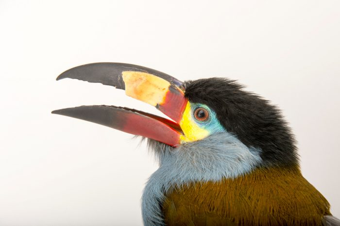 Picture of a plate-billed mountain toucan (Andigena laminirostris) at the Dallas World Aquarium