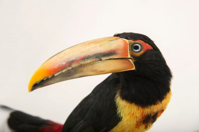 Picture of a pale-mandibled aracari (Pteroglossus erythropygius) at the Dallas World Aquarium.