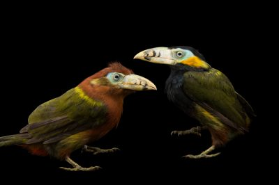 Picture of a mated pair of spot-billed toucanets (Selenidera maculirostris) at the Dallas World Aquarium. The male is mostly black, with more brown in the female.