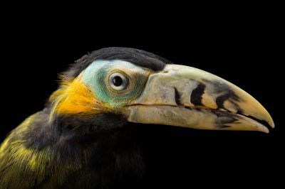Picture of a male spot-billed toucanet (Selenidera maculirostris) at the Dallas World Aquarium.