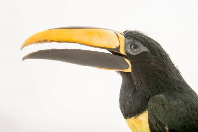 Picture of a black-necked aracari (Pteroglossus aracari) at the Dallas World Aquarium.
