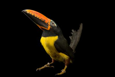 Picture of a Northwestern lettered aracari (Pteroglossus inscriptus humbolti) at the Dallas World Aquarium.