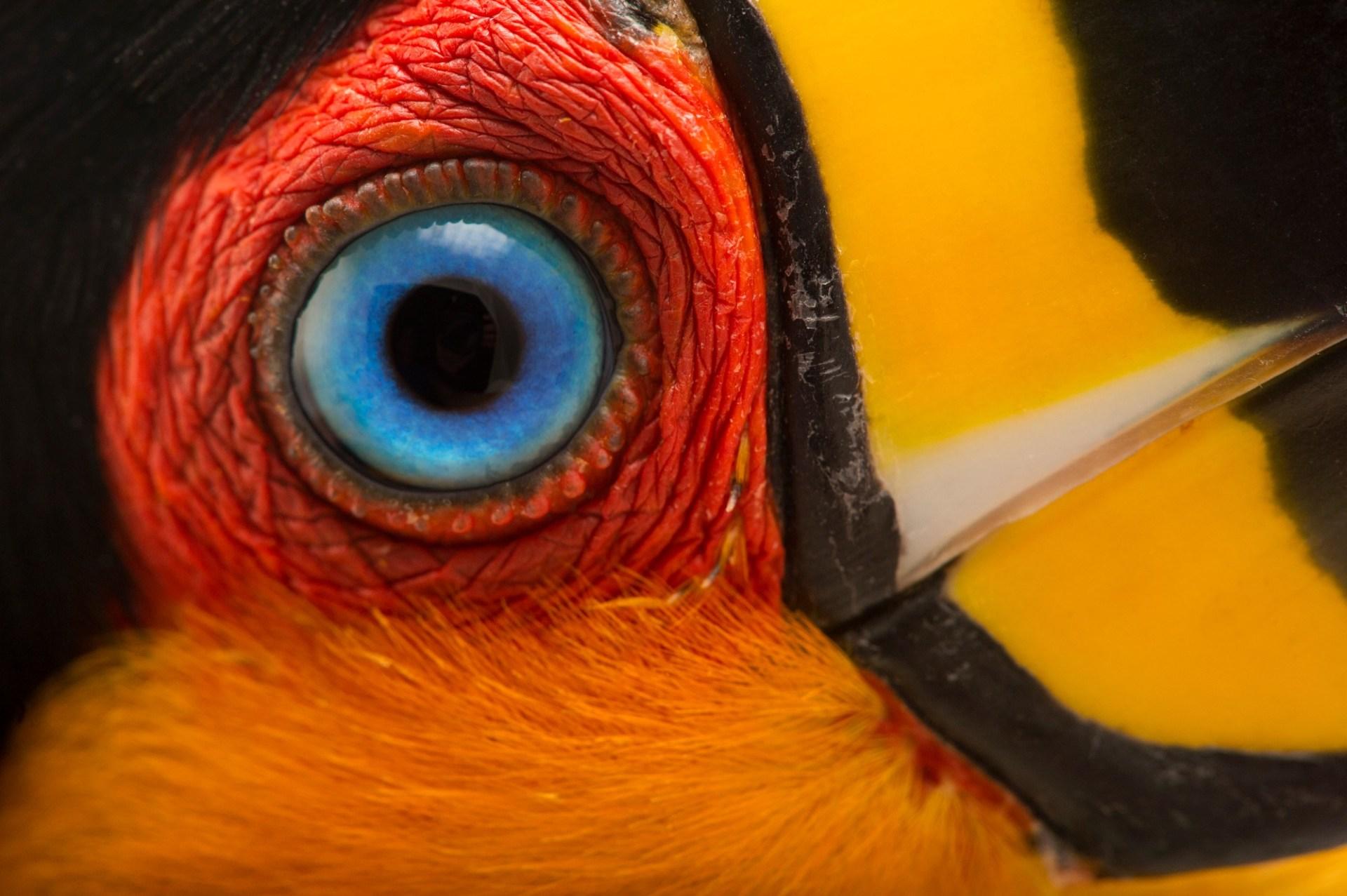 An ariel toucan (Ramphastos ariel) at the Dallas World Aquarium.