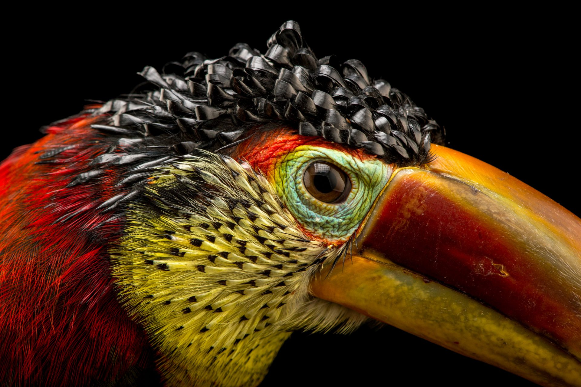 Picture of a curl-crested aracari (Pteroglossus beauharnaesii) at the Dallas World Aquarium.