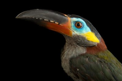 Photo: Guianan toucanet (Selenidera piperivora) from Le Parc des Oiseaux in Villars Les Dombes, France.