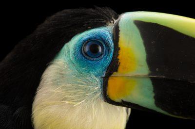 Photo: Citron-throated toucan (Ramphastos vitellinus citreolaemus) at Parque Jaime Duque near Bogota, Colombia.