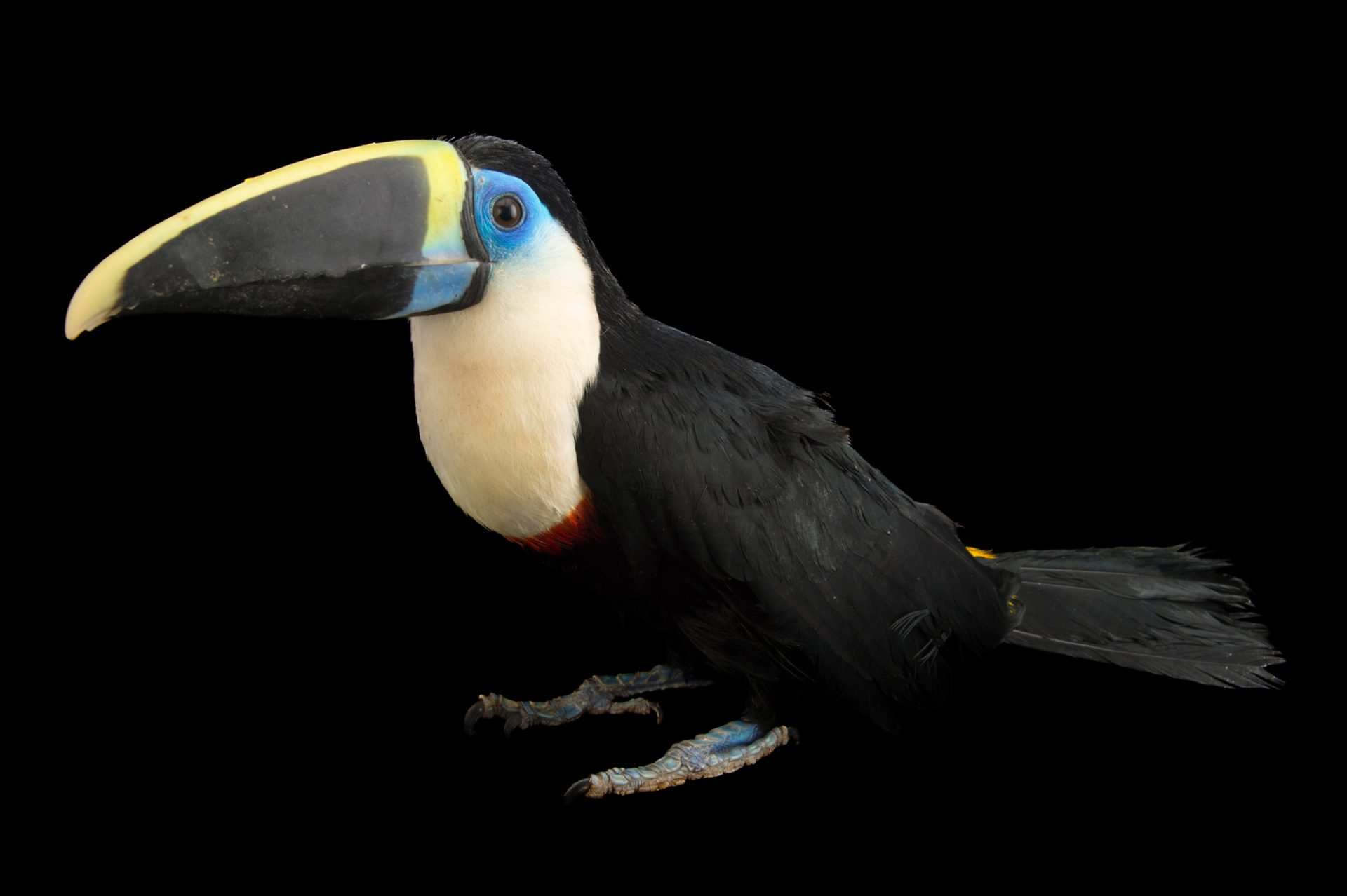 Photo: Yellow-ridged toucan (Ramphastos vitellinus culminatus) at Parque Jaime Duque near Bogota, Colombia.
