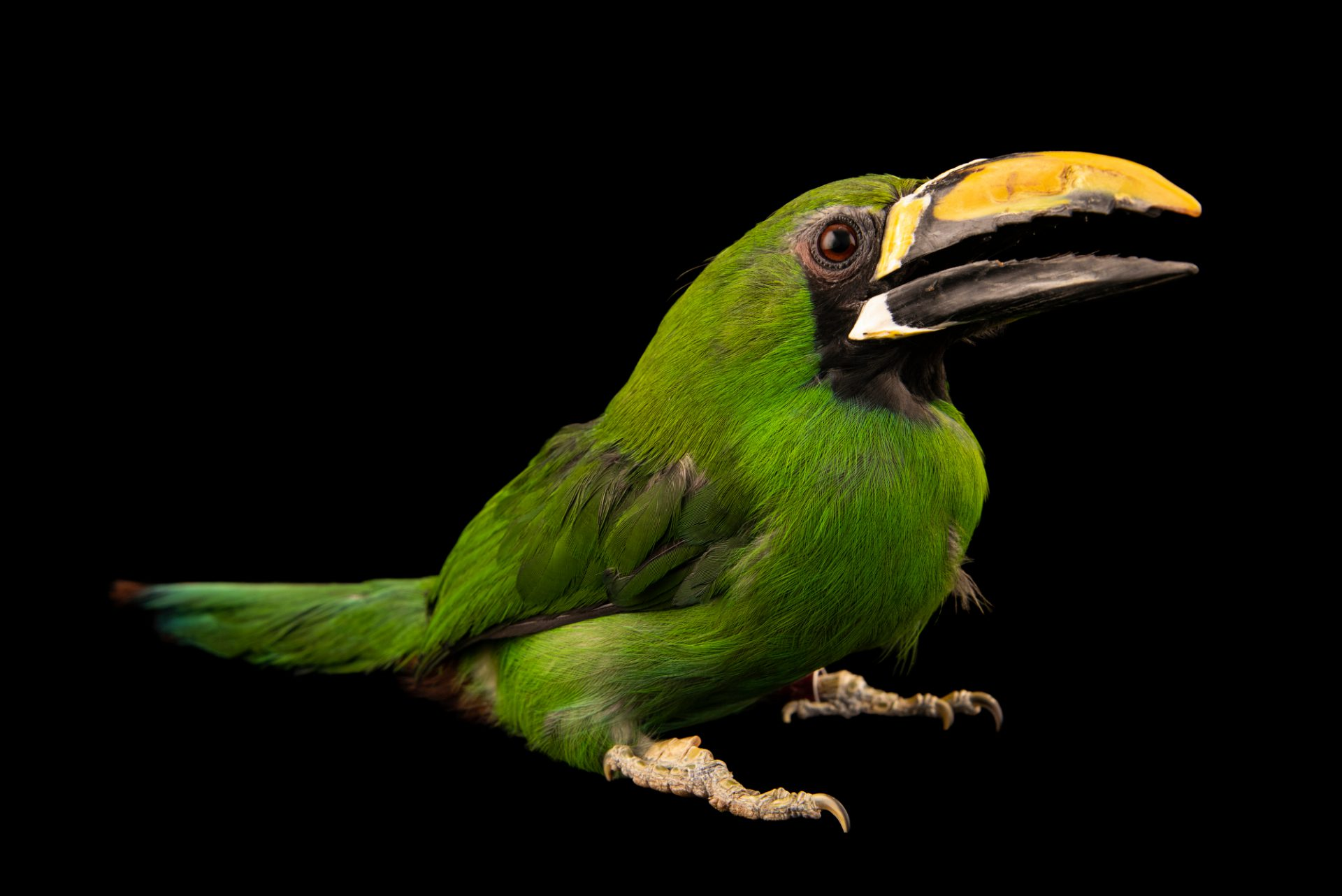 Photo: A female Peruvian toucanet (Aulacorhynchus atrogularis) at the Dallas World Aquarium.
