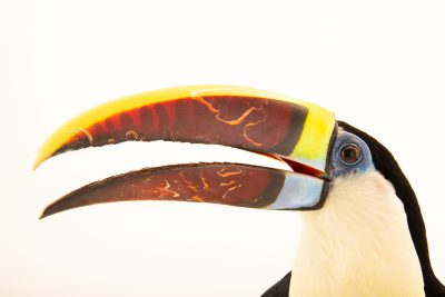 Photo: A male western red-billed toucan (Ramphastos tucanus tucanus) at the Dallas World Aquarium.