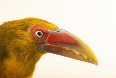 Photo: A male saffron toucanet (Baillonius bailloni) at the Dallas World Aquarium.